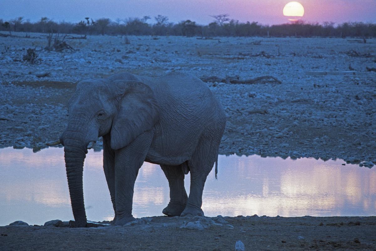 Olifant in Etosha National Park in Namibie